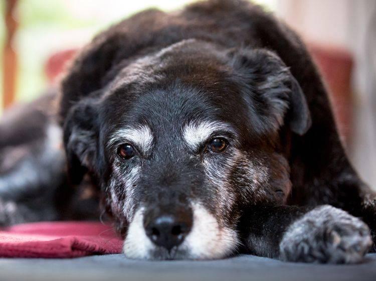 Auch Hunde können im Alter an Demenz erkranken – Shutterstock / Alex Mladek