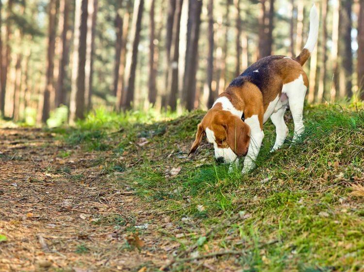 Nasenarbeit mit dem Hund ist ein Spaß für Hund und Herrchen – Shutterstock / Igor Normann