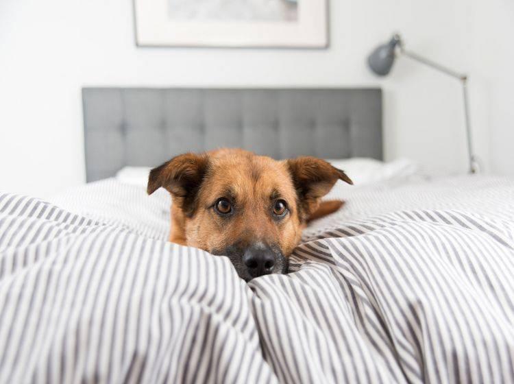 Es gibt sowohl Argumente gegen einen Hund im Bett als auch welche dafür – Shutterstock / Anna Hoychuk