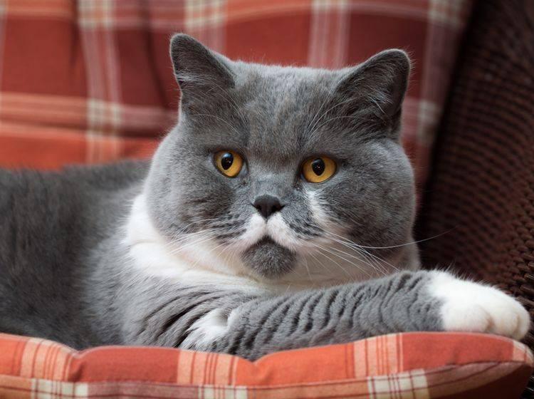 Übergewicht kann bei Katzen zu Bluthochdruck führen – Shutterstock / Gutzemberg