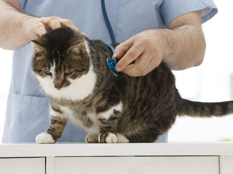 Der Tierarzt hilft Ihnen dabei, den Blutdruck Ihrer Katze zu senken – Shutterstock / JPC-PROD