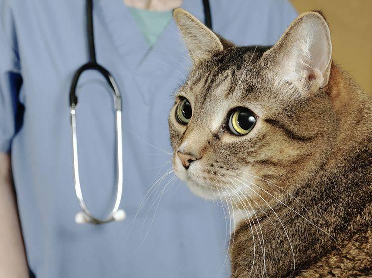 Bluthochdruck bei Katzen muss der Tierarzt überprüfen, da die Symptome unauffällig sind – Shutterstock / Mr.Nikon