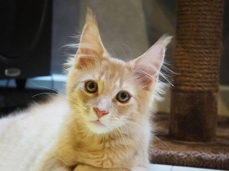Katzen können ihre Geräuschumwelt genau untersuchen – Shutterstock / GunnerL