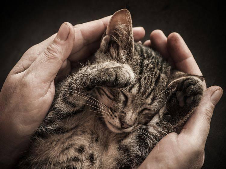 Erinnert sich die kleine Katze später an die schützenden Hände ihres Menschen? – Shutterstock / Vinogradov Illya