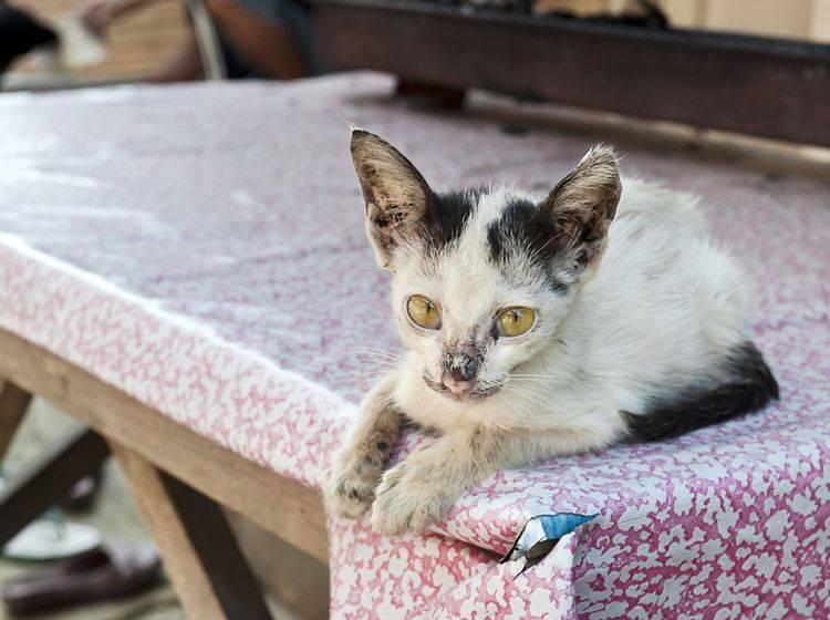 Junge Kätzchen sind besonders anfällig für eine Herpes-Infektion – Shutterstock / Rigamondis