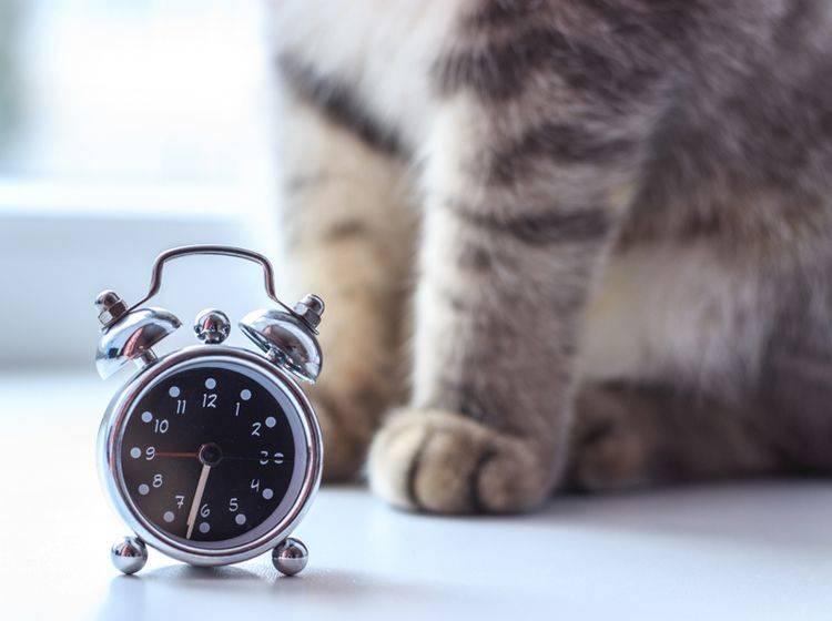 Tick-tack, tick-tack ... Wie empfinden Katzen Zeit? – Shutterstock / yuli_ko