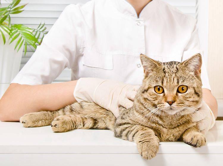 Ein Darmverschluss bei Katzen ist ein Fall für den Tierarzt! – Shutterstock / Sonsedska Yuliia