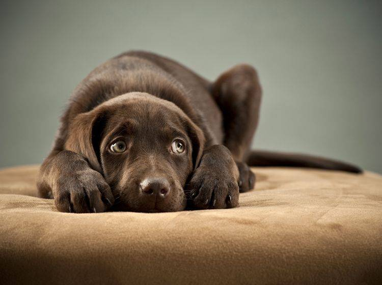 Ein Hund, der taub ist, braucht im Alltag Unterstützung – Shutterstock / Michael Pettigrew