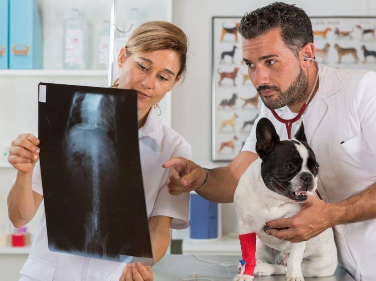 Eine Röntgenuntersuchung ist für den Hund relativ ungefährlich – Shutterstock / 135pixels
