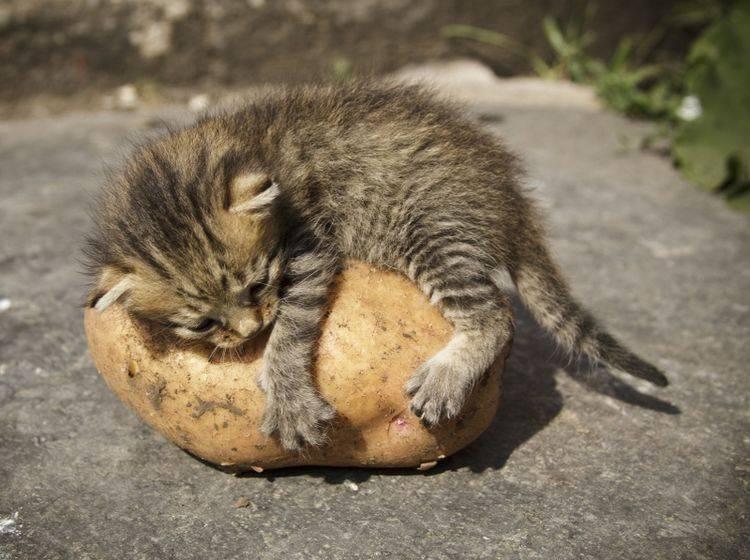 Vorsicht ist geboten – Katzen dürfen keine rohen Kartoffeln fressen – Shutterstock / MoonRaiter