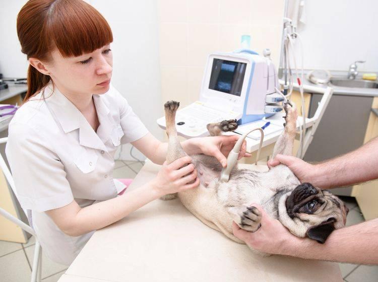 Die Ultraschallwellen bei einer Sonografie sind völlig harmlos für Hunde – Shutterstock / Ermolaev Alexander