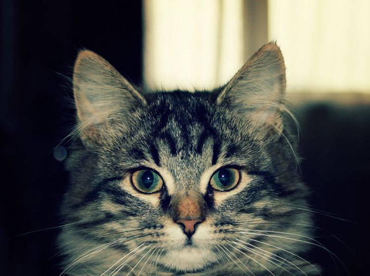 Diese Katze hat noch einen ungetrübten Blick – Shutterstock / Lora Sutyagina