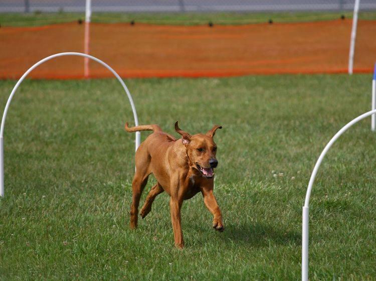 Dieser Hund hat sichtlich Spaß beim Hoopers-Agility – Shutterstock / Dennis W. Donohue