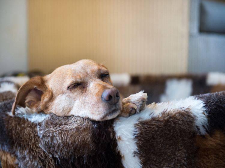 Oft sind Hunde nach einer Operation unter Narkose noch eine Zeit lang benommen – Shutterstock / Ivonne Wierink