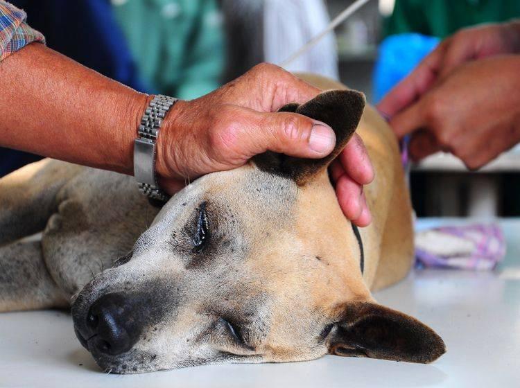 Damit die OP problemlos abläuft, muss der Hund nüchtern sein – Shutterstock / improvize