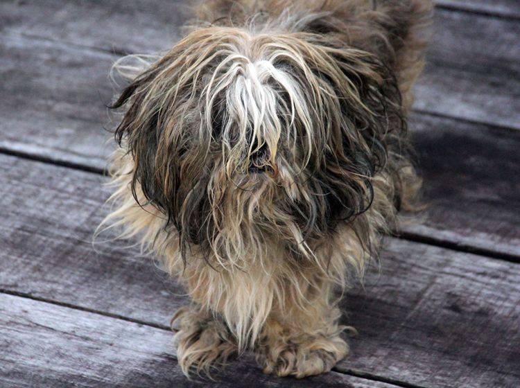 Verfilztes Fell beim Hund sollten Sie schonend entwirren – Shutterstock / Travelling_birds