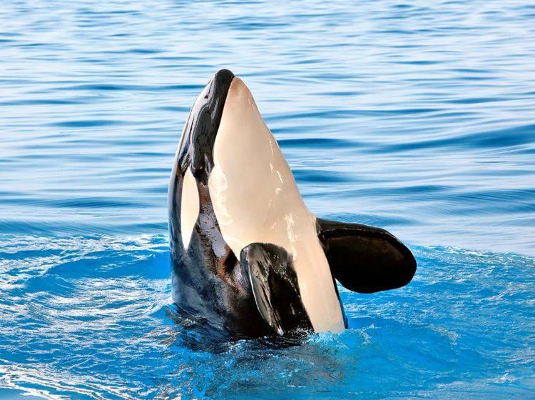Schwertwale in Gefangenschaft entsetzen Tierschützer seit Langem – Shutterstock / nodff