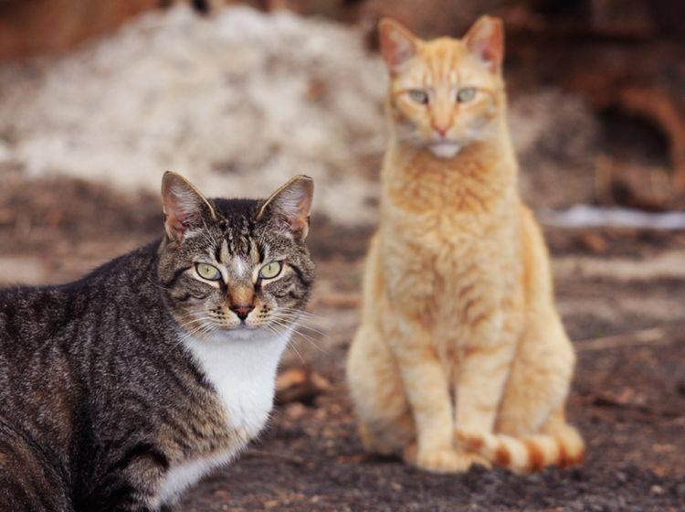 In Deutschland gibt es rund zwei Millionen streunende Katzen – Shutterstock / Joseph M. Arseneau