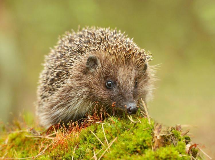 Das Tierschutzgesetz schützt nicht nur Haustiere, sondern auch Wildtiere wie den Igel – Shutterstock / Piotr Krzeslak