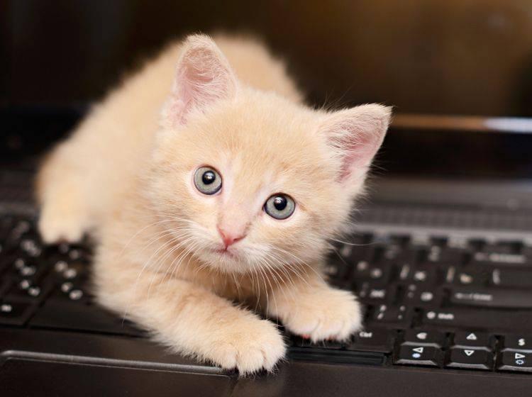 """""""So ein warmer Laptop ist doch wirklich gemütlich"""", denkt sich diese junge Katze – Shutterstock / Ortis"""