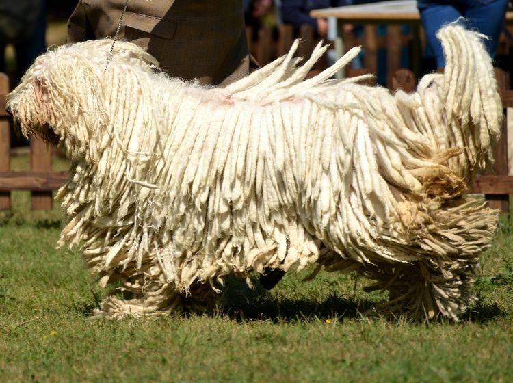 Einige Hunde, wie der Komondor, sind auch aufgrund ihres Fells wahre Hingucker – Shutterstock / Marcel Jancovic
