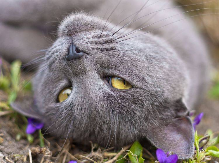 Rollige Katzen wälzen sich auf dem Boden und locken Kater mit Pheromonen – Shutterstock / Xseon