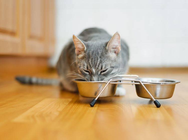 Eine spezielle Leberdiät vom Tierarzt hilft Ihrer kranken Katze – Shutterstock / mik ulyannikov