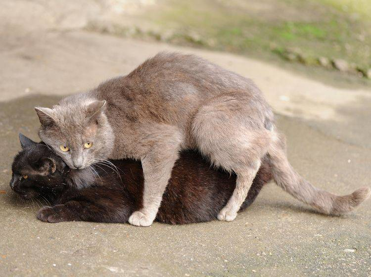 Der Kater beißt der Katze sanft in den Nacken und beginnt den Deckakt – Shutterstock / Alexey Borodin