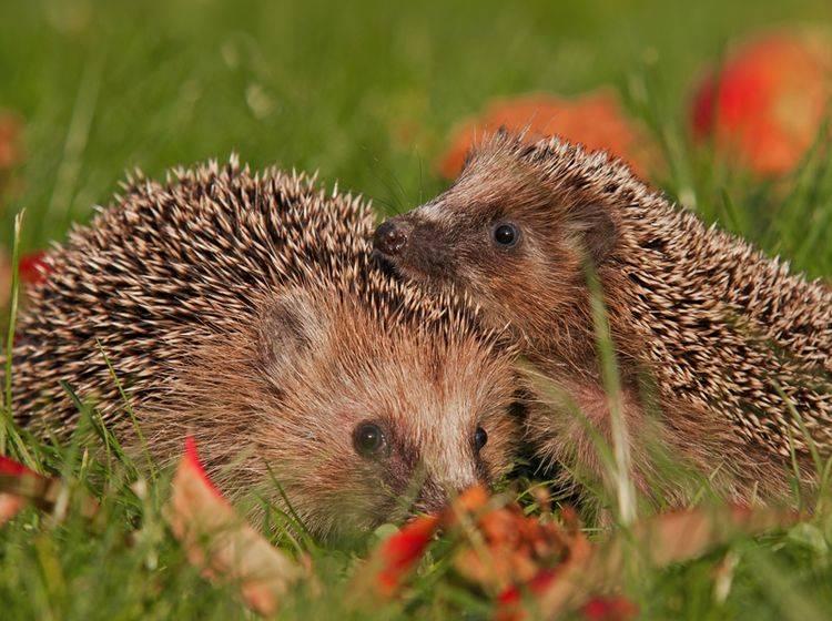 """""""In diesem Garten gefällt es uns!"""", denken die süßen Igel – Shutterstock / Alexander Erdbeer"""