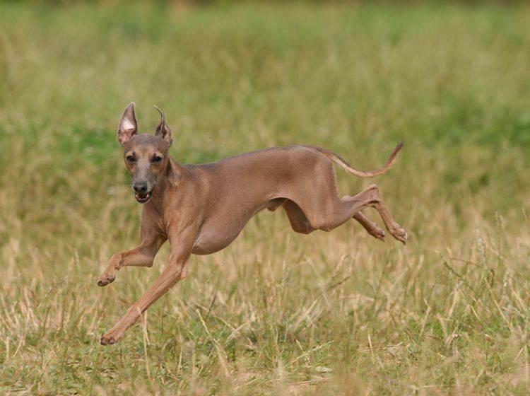 Das italienische Windspiel ist ein kleiner Windhund mit viel Energie – Shutterstock / Utekhina Anna