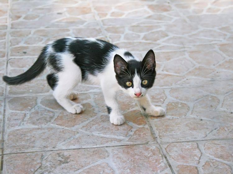Katzen, die einen Schreck bekommen, stehen unter großem Stress – Shutterstock / ruzanna