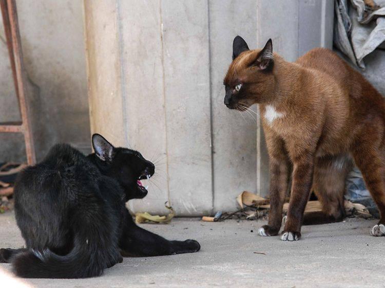 Wem gehört das Revier? Diese zwei Katzen fechten es aus – Shutterstock / PNSJ88