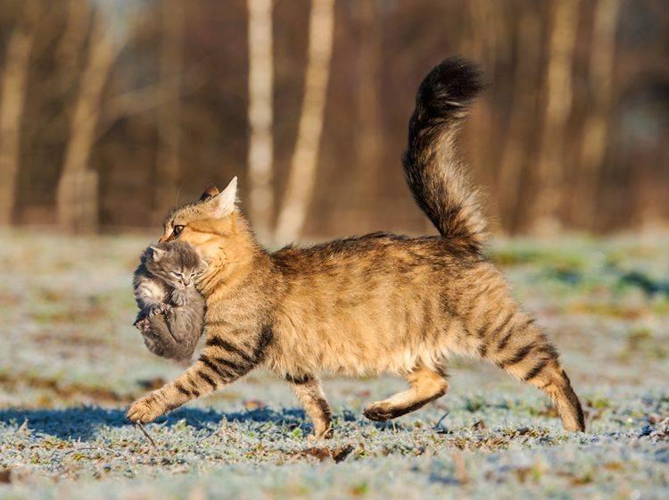Die Katzenmutter nutzt den Nackenbiss, um ihre Kätzchen in Sicherheit zu bringen – Shutterstock / Rita Kochmarjova