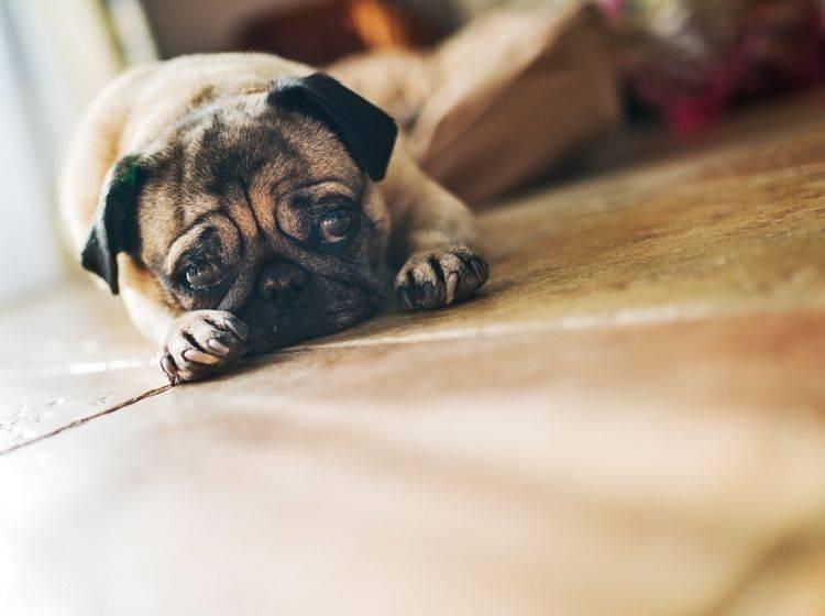 Hunde zeigen ihre Schmerzen oft nicht, leiden aber trotzdem unter ihnen – Shutterstock / Anna Baburkina