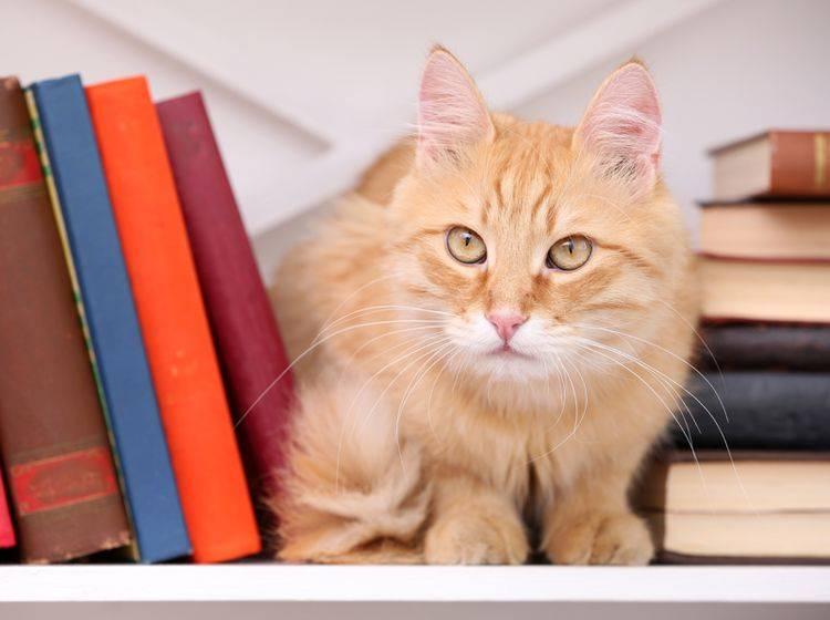 Was wohl in dem Kopf der Katze vor sich geht? – Shutterstock / Africa Studio