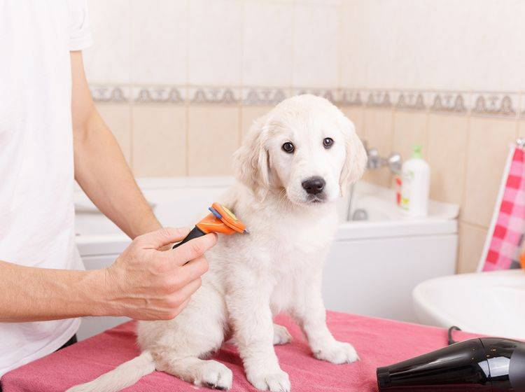 Manchmal muss die Fellpflege ein wenig schneller gehen – Shutterstock / Olimpik