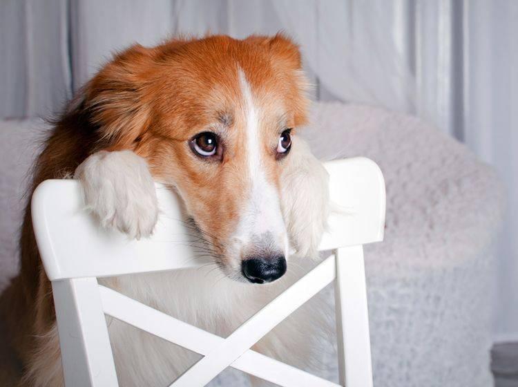 """""""Was möchte mein Mensch von mir?"""", fragt sich dieser verunsicherte Hund – Shutterstock / Ksenia Raykova"""