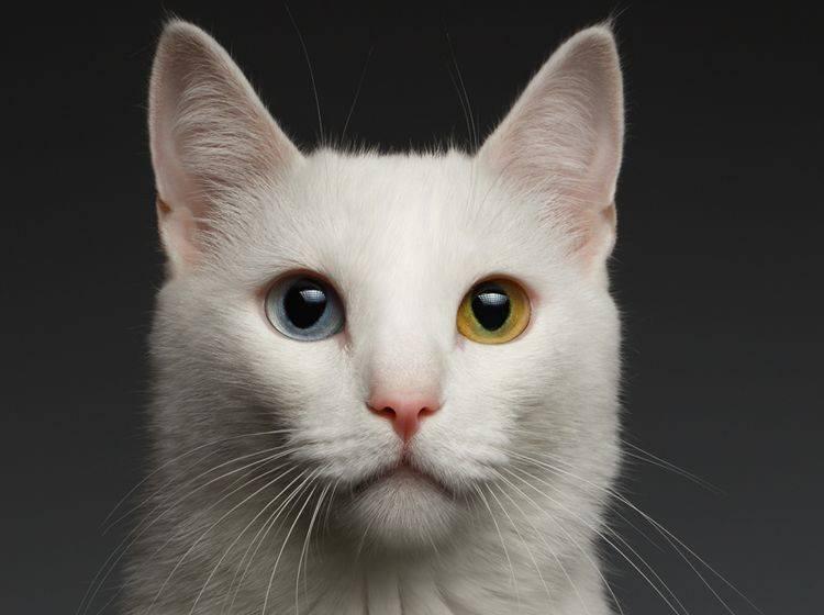 Eine wunderschöne weiße Katze mit einem blauen und einem grünen Auge – Shutterstock / Seregraff