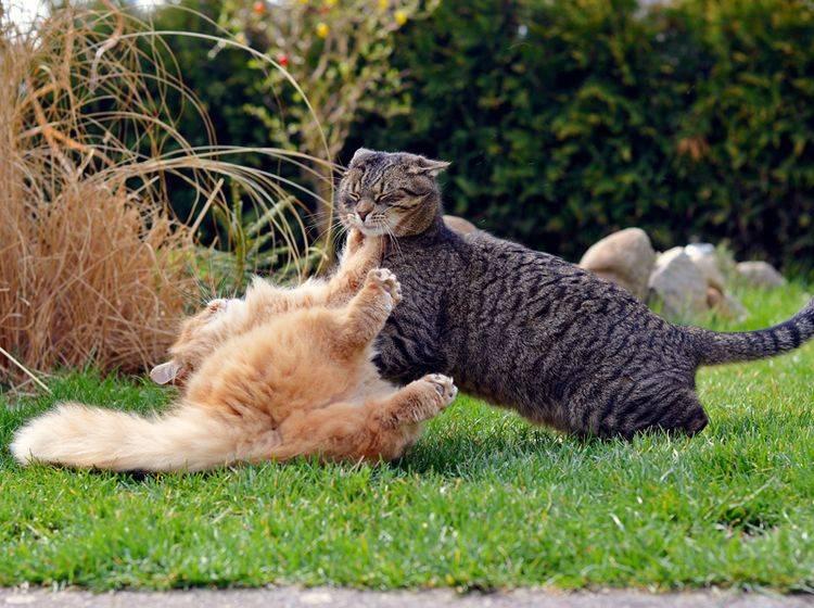 Diese zwei Katzen kämpfen darum, wem das Revier gehört – Shutterstock / DavidTB