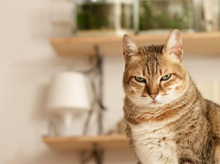 Ihre Katze wirkt genervt? Das hat meistens seine Gründe – Shutterstock / elwynn