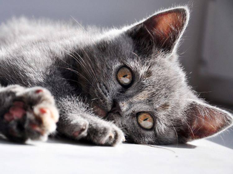 Im Gegensatz zu dieser Jungkatze, ist der Kopf einer Hydrozephalus-Katze meist vergrößert – Shutterstock / Yulia Bogomolova