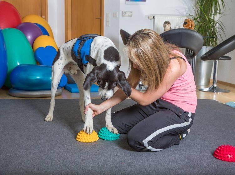 Eine gute Ausbildung und Erfahrung sind zwei wichtige Aspekte in der Hundephysiotherapie – Shutterstock / msgrafixx