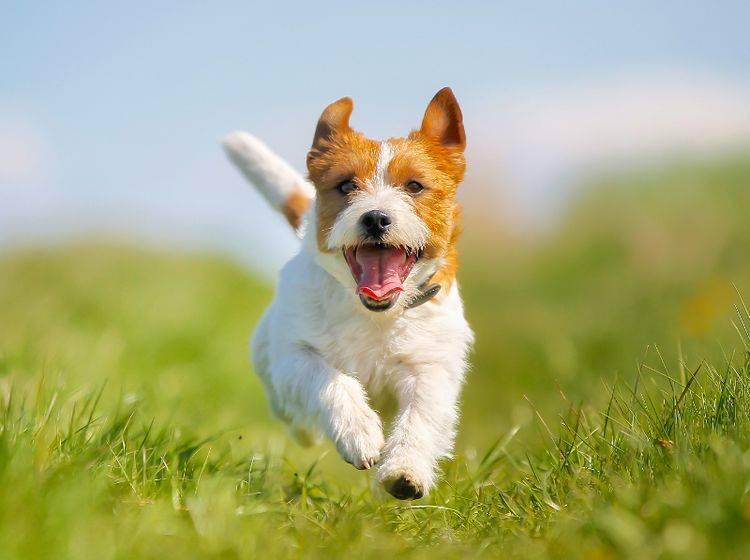 Die Freude steht diesem Jack Russel Terrier ins Gesicht geschrieben, was gut für Hund und Foto ist – Shutterstock / Mikkel-Bigandt