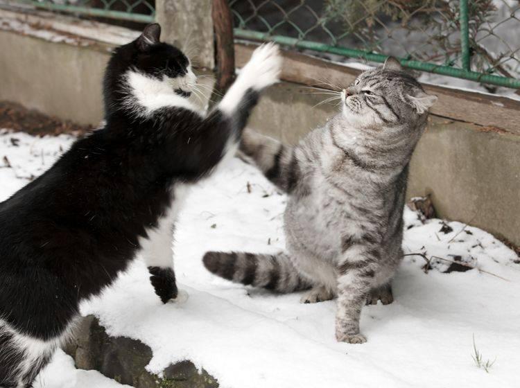 Wenn Kater und Katzen in Kämpfe um Hierarchie oder Revier geraten, geht es richtig zur Sache – Shutterstock / Petrenko Andriy