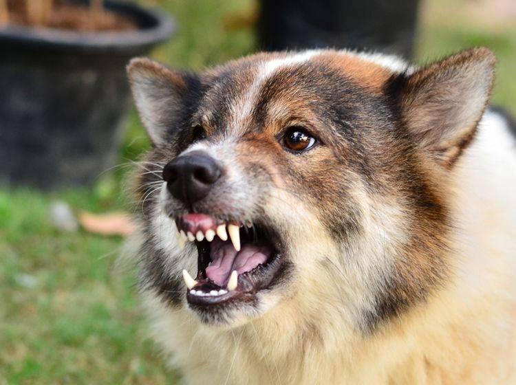 Was tun, wenn ein Hund so aggressiv ist? – Shutterstock / Aree