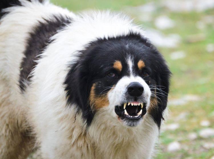 Wenn Hunde ständig aggressiv werden, kann eine Problemhundetherapie helfen – Shutterstock / OgnjenO