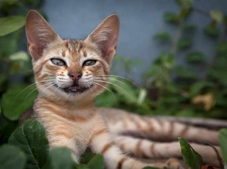 Wenn Katzen flehmen, können sie Duftstoffe besser aufnehmen – Shutterstock / Klemen Misic