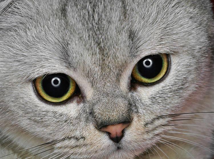 Nicht jede Katze hat so gesunde Augen, manche leiden an Grünem Star – Shutterstock / Hedzun Vasyl