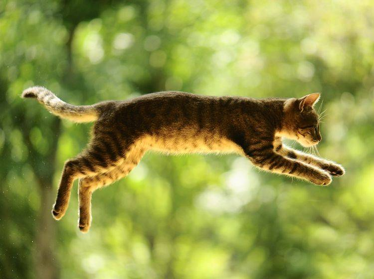 Katzen können sich im freien Fall drehen, sodass sie fast immer auf den Pfoten landen – Shutterstock / Vinogradov Illya