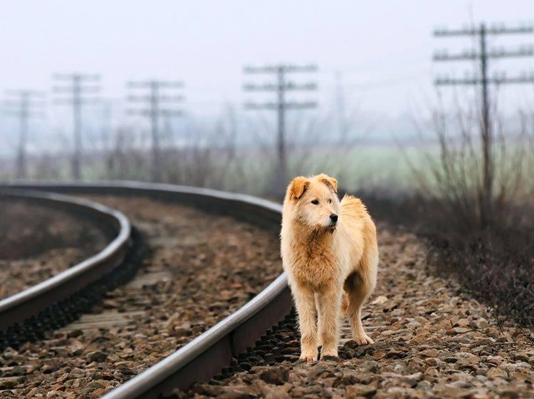 """""""Wo ist meine Familie?"""", fragt sich dieser Hund auf der Suche nach seinem Zuhause – Shutterstock / Mikadun"""
